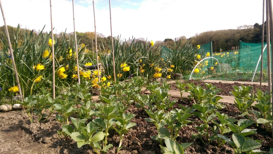 Daffodils and Beans...
