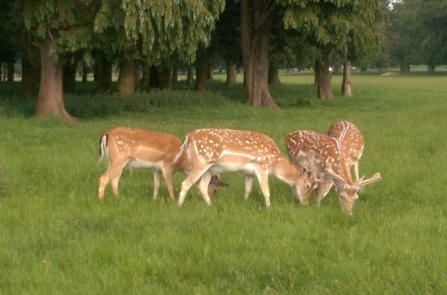 Fallow Deer in the Phoenix Park (en route to the Bloom Festival)