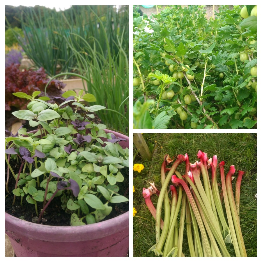 Basil Gooseberries & Rhubarb