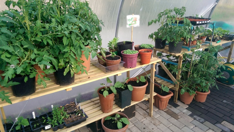 Basil and Tomato plants in the polytunnel