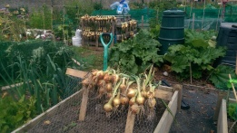 Drying the onions July 2014