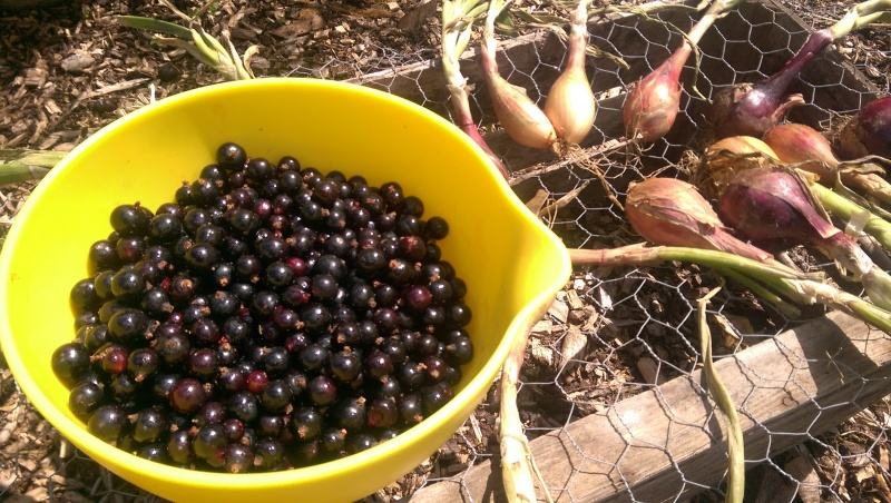 Blackcurrants & Longue Shallots