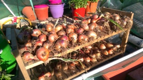 Curing the Shallots July 2016