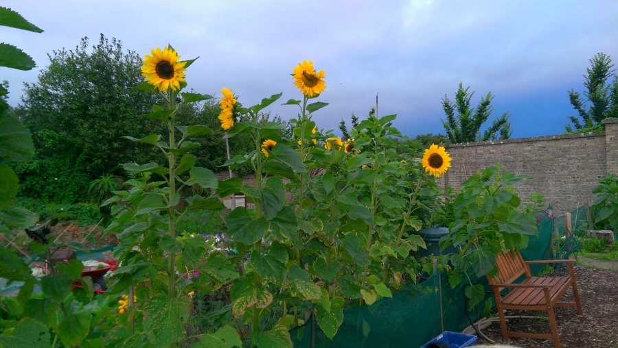 Sunflowers showing their faces at last...