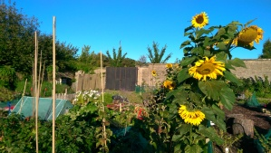Late Sunflowers: a bit bedraggled but over 10 foot at last...