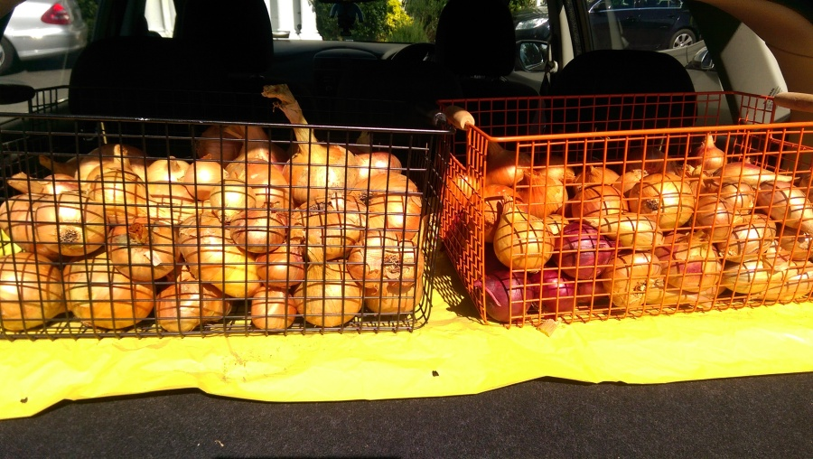 curing the onions and shallots: using the car-boot window to effect..