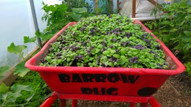 This Year's Mechanical Basil....The Barrow Bug.