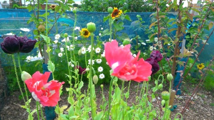 Poppies Cosmos & Sunflowers