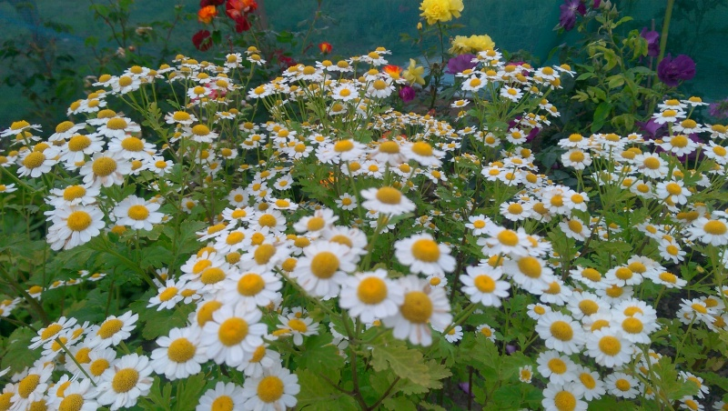 Feverfew & Rose Blooms