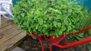 Basil; this year's basil filled Barrow Bug