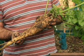 Gladiator parsnips...