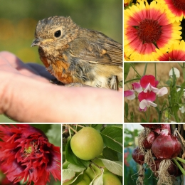 firewheels and poppies and peas and robins... monster images from the summer that is 2018 images compliments @janpaulkelly (aka Mrs. Dirtdigger)
