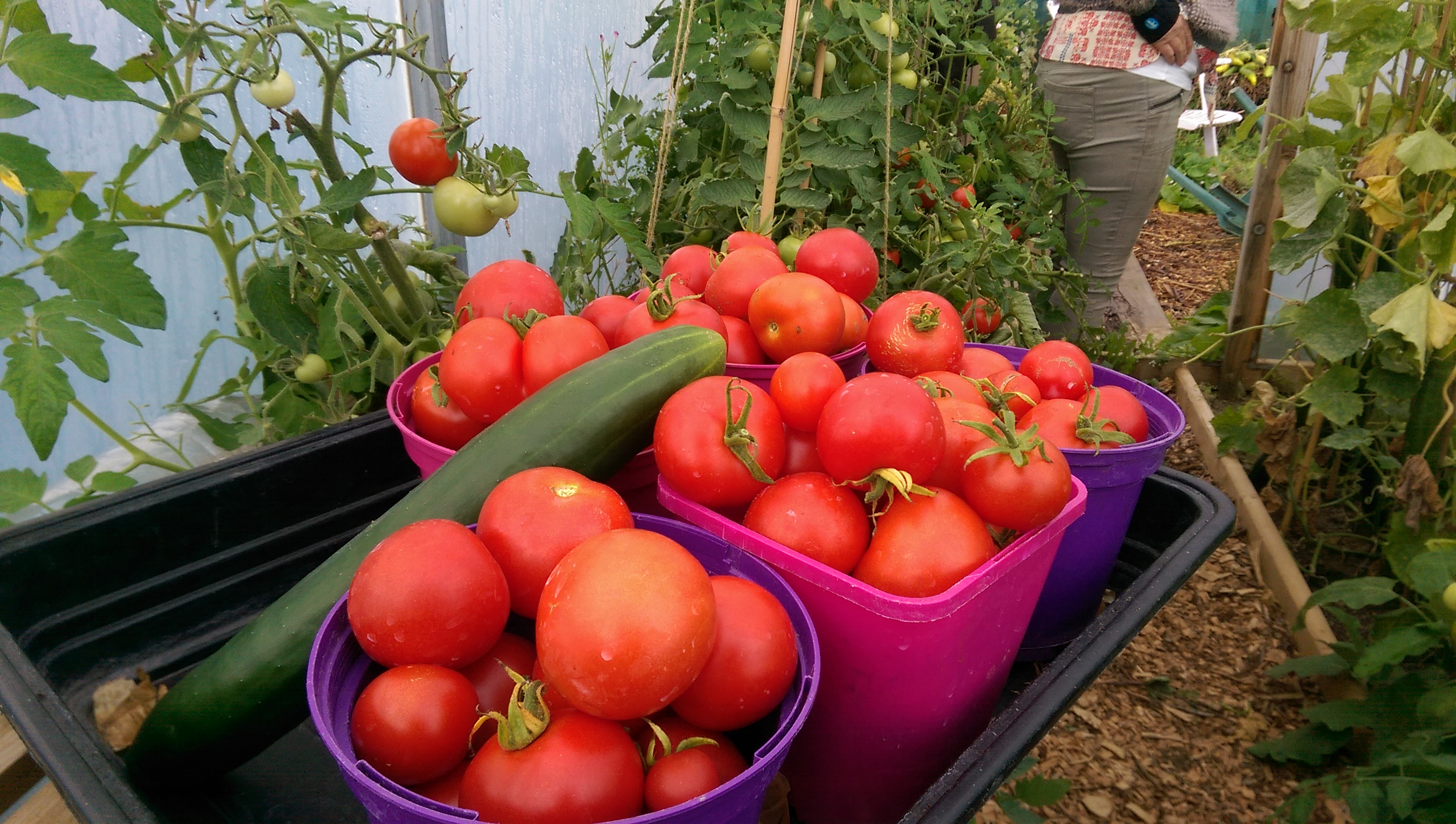 Moneymaker Tomatoes