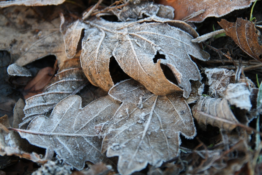 Frost on Leaves.JPG