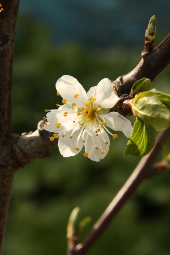 Plum TreeBlossom.JPG